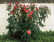 20060415201908-poda-de-los-rosales.jpg