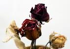 20070513121359-rosas-marchitas.jpg