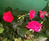 20070531075833-rosales-miniatura.jpg